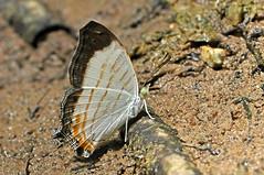 Cyrestis themire - the Little Map (BugsAlive) Tags: butterfly mariposa papillon farfalla schmetterling бабочка conbướm ผีเสื้อ animal outdoor insects insect lepidoptera macro nature nymphalidae cyrestisthemire littlemap cyrestinae wildlife thanbokkhoranninp krabi liveinsects thailand thailandbutterflies ผีเสื้อแผนที่เล็ก