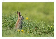 Lapin   Rabbit (BerColly) Tags: france auvergne puydedome animal lapin rabbit portrait prairie field vert green bercolly google flickr