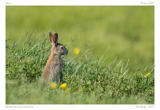 Lapin | Rabbit
