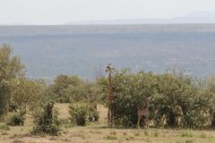 20170614_1286_Masai Mara_Girafe Masai (fstoger) Tags: kenya masaimara viesauvage wildlife safari girafe girafemasai masaigiraffe afrique africa