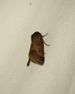 11135 Schinia rivulosa, Ragweed Flower Moth