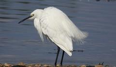Little egret (PhotoLoonie) Tags: littleegret egret bird wildlife nature white feathers