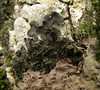 Leptogium saturninum (davidgenneygroups) Tags: uk scotland lichen leptogium leptogiumsaturninum foliose