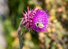 Bee on a Thistle (Chuck - PhotosbyMCH) Tags: photosbymch macrophotography bee muskthistle flower jacksonhole grandtetonnationalpark wyoming usa canon 5dmkiii 2017 outdoors