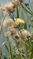 Seeds (barbaragaillewis) Tags: sony sonyhx9v summer august 2017 seeds shiawasseenationalwildliferefuge nature plants flora wetlands