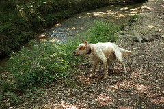 IMG_0330 (bia93snow) Tags: englishsetter wetdog river fiume