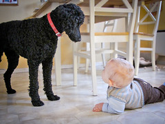 The Babysitter (Torstein1000) Tags: dog standard poodle kid indoor babysitter toddle