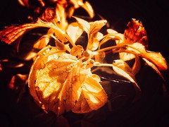Fire (J.C. Moyer) Tags: fire sunlight leaves yellowleaves garden nature flora spidersilk colour color decay motorolamotog4plus rustic blackbackground darkbackground light contrast fall gold