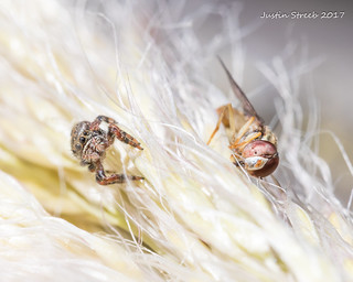 Jumping Spider with Prey (Macro Mondays High Key)