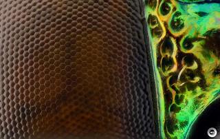 Jewel beetle eye