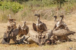 Grifo - Griffon vulture (Gyps fulvus)