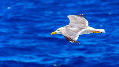 Free.....as a bird.... (Photo_hobbyist) Tags: birds blue fly flying vacations water sea seagulls ngc