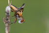 Upsidedownfly (jacobsfrank) Tags: fly vlieg zweefvlieg macro natuur nature nikon nikond500 flickr frankjacobs jacobsfrank