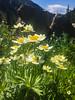 Anemone narcissiflora var. zephyra - Narcissus Anemone (great_awakenings) Tags: aconite activities americaus anemone anemonenarcissifloravarzephyra angiosperms baneberry barberryfamily boothlaketrail bugbane buttercup buttercupfamily canadaanemone candleanemone circaeasterfamily cliffanemone colorado columbine crowfoot devilshelmet eaglecounty eudicots eupteleafamily flora globeflower hiking lardizabalafamily larkspur locations marshmarigold meadowanemone meadowrue monkshood moonseedfamily mousetail narcissusanemone naturalhistory poppyfamily prairiecrocus ranunculaceae ranunculales sabiafamily smallfloweredanemone thimbleweed unitedstates wolfsbane
