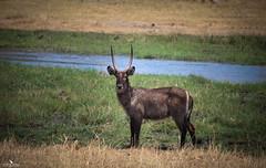 Waterbuck On The Okavango Delta (pbmultimedia5) Tags: kuwait river okavango delta botswana marsh wetland animal wildlife pbmultimedia common ellipsen waterbuck