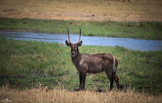 Waterbuck On The Okavango Delta