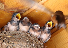 Barn Swallows - Mom! Mom! Over here! (schockenlinda) Tags: