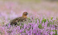 Red Grouse (Nigey2) Tags: