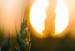 Wheat in the sunset (Theo Crazzolara) Tags: wheat weizen crop cereal grain getreide sun sunset sonnenuntergang orange evening dusk nature macro light contrast beautiful seed sonne autumn fall summer sommer