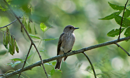 Серая мухоловка / Muscicapa striata / Spotted Flycatcher / Сивата мухоловка / Grauschnäpper