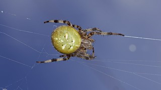 four-spotted orbweb spider, Araneus quadratus