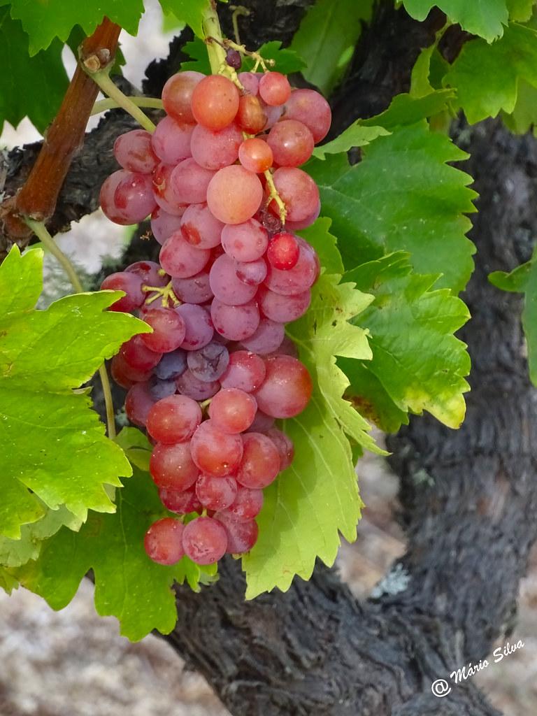 Águas Frias (Chaves) - ... cacho de uvas ..