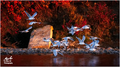 The Colours of Fall on the River (Moe Ali Photography) Tags: gulls birds birding river fall autumn red colour seagull flock flying flushing wildlife water outdoor nature trees leaves bank calgary fishcreek alberta canon7dmarkii canon100400ii moealiphotography reflections peaceful stunning