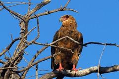 P7230073 (2) (hugoholunder) Tags: vogel natur botswana südafrika juli2017 flickr