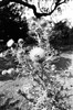 Thistle Mission (Georgie_grrl) Tags: torontophotowalks topw andrewsbackyardpartywalk blackandwhite monochrome pentaxk1000 rikenon12828mm toronto ontario