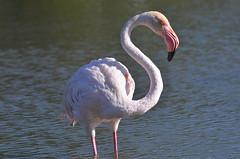 Flamingo in Camargue (dfromonteil) Tags: flamant flamingo bird oiseau water eau lac lake rose pink light sunlight ensoleillé animal nature portrait look regard eye oeil