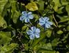 Plumbago blooms (idunbarreid) Tags: plumbago