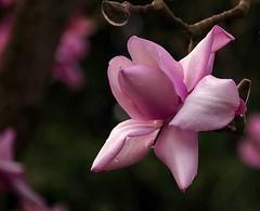 Pink magnolia (Maureen Pierre) Tags: magnolia pink garden single flower