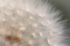 Seed Puff (C.G. Hutch) Tags: dandelion seeds puffball flower cghutchimages