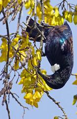 IMGP1499 Tui feeding on Kowhai nectar Porirua 27-08-17 (Donald Laing) Tags: new zealand porirua tui native birds kowhai trees nectar feeders donald laing