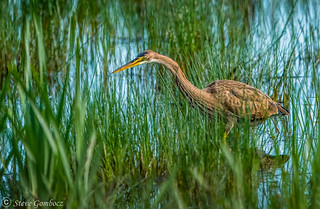 Stalking Purple Heron (Juvenile).