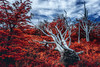 fallen tree (Valter Patrial) Tags: autumn forest tree foliage birch fallen cypress cottonwood woodland fall copse deciduous area argentina patagonia glacier perito moreno el calafate