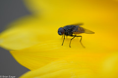 fly on sunflower - Sigma 150 macro (brian eagar - very busy - not much time to comment) Tags: sigma sigma150mmmacro sony a7r2 a7rii mc11 flower fly insect macro dof