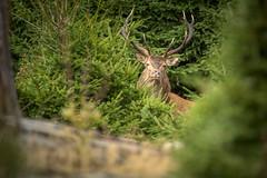 Le roi de la forêt (Patrick d'Alsace) Tags: alsace animaux animal automne france forêt faune cerfs