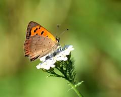 Delicacy (only_sepp) Tags: farfalla fiore allnaturesparadise allaperto torino parcocarrara colori insetti butterfly