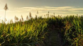Sugar cane flowering