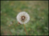 Chahumasy-2017-06-27 (1) pissenlit fleur 20mm (Chahumasy) Tags: fleur flower pissenlit dandelion lumixg20f17 olympusem10