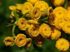 Rainfarn (Tanacetum Vulgare) (fotonordhessen) Tags: gelb rainfarn