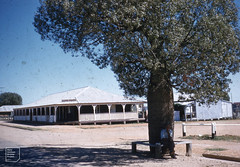 Bottle tree in Tambo high street, Queensland (Mary Gillham Archive Project) Tags: augustseptember1958 australia brachychitonrupestris landscape people planttree queensland tambo bottletree 10516 1958