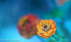 Still there (frederic.gombert) Tags: flower flowers light orange color blue sun summer garden plant macro nikon