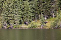 Moose at the lake (Jeff Mitton) Tags: moose longlake brainardlakerecreationarea colorado lake sprucefirforest earthnaturelife wondersofnature