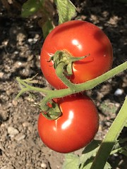 Tomatoes (Anna Sunny Day) Tags: garden homegrown