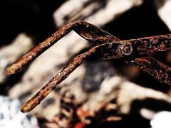 Pflanzenzange / plant tongs (ingrid eulenfan) Tags: macromondays rust rost macro makro pflanzenzange planttongs object