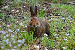 Snowshoe hare (Lepus americanus) (rangerbatt) Tags: snowshoehare lepusamericanus hare rabbit lagomorph wasatchmountains utahwildlfe wildutah d5300 nikon55300mm