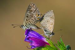 Leptotes pirithous mating (4) (JoseDelgar) Tags: insecto mariposa leptotespirithous 425814778694107 josedelgar naturethroughthelens coth coth5 sunrays5 ngc npc