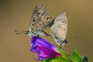 Leptotes pirithous mating (4)